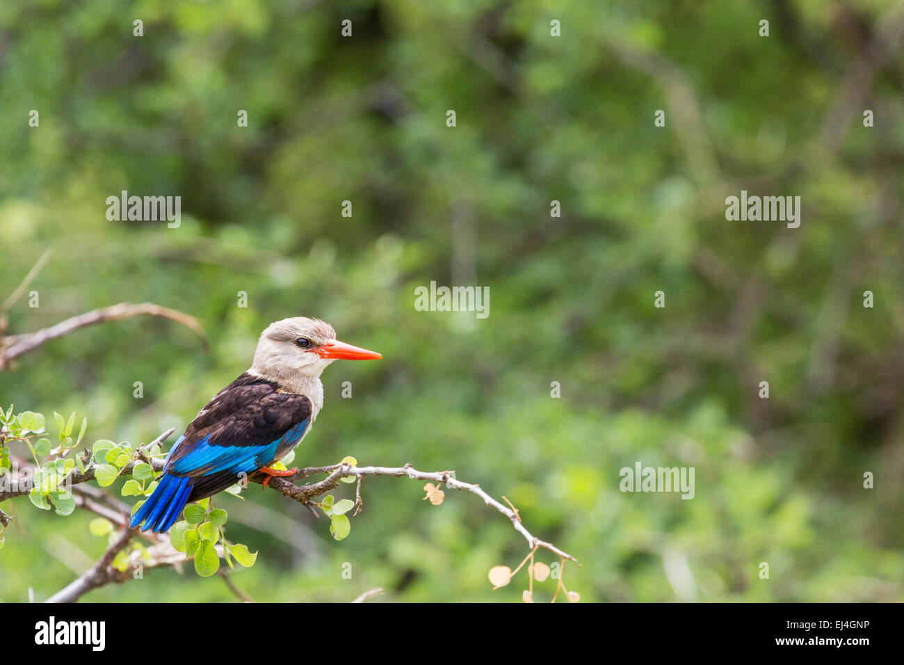Woodland kingfisher in Lake Manyara national park, Tanzania - Stock Image