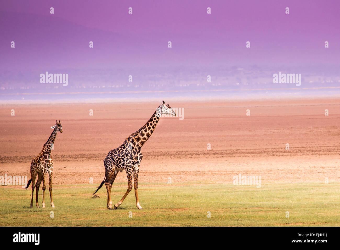 Giraffes in Lake Manyara national park, Tanzania - Stock Image