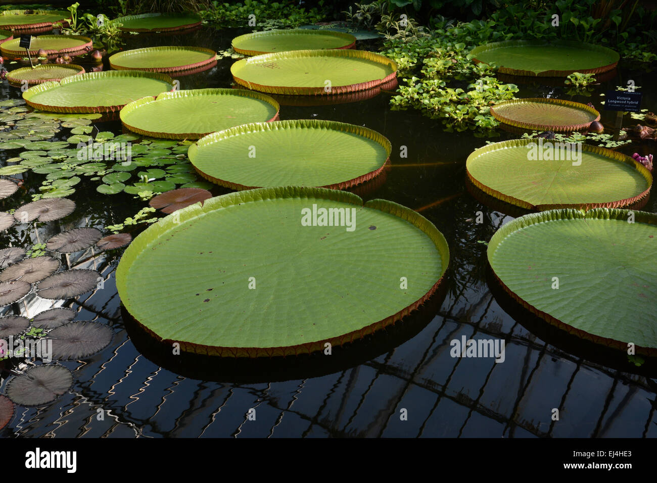 Water lilies - Stock Image