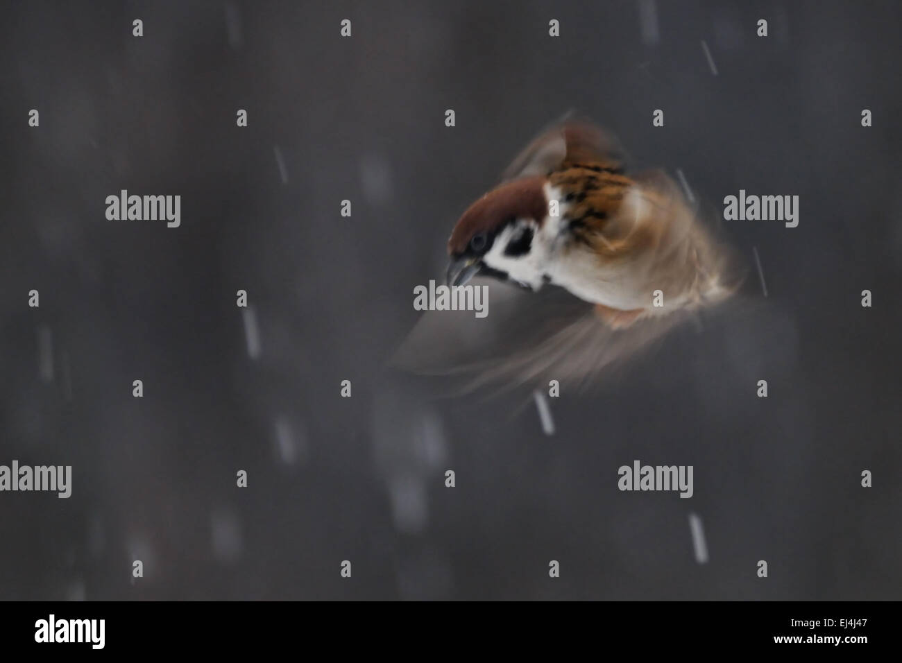 Flying blurred Tree Sparrow in snow Stock Photo
