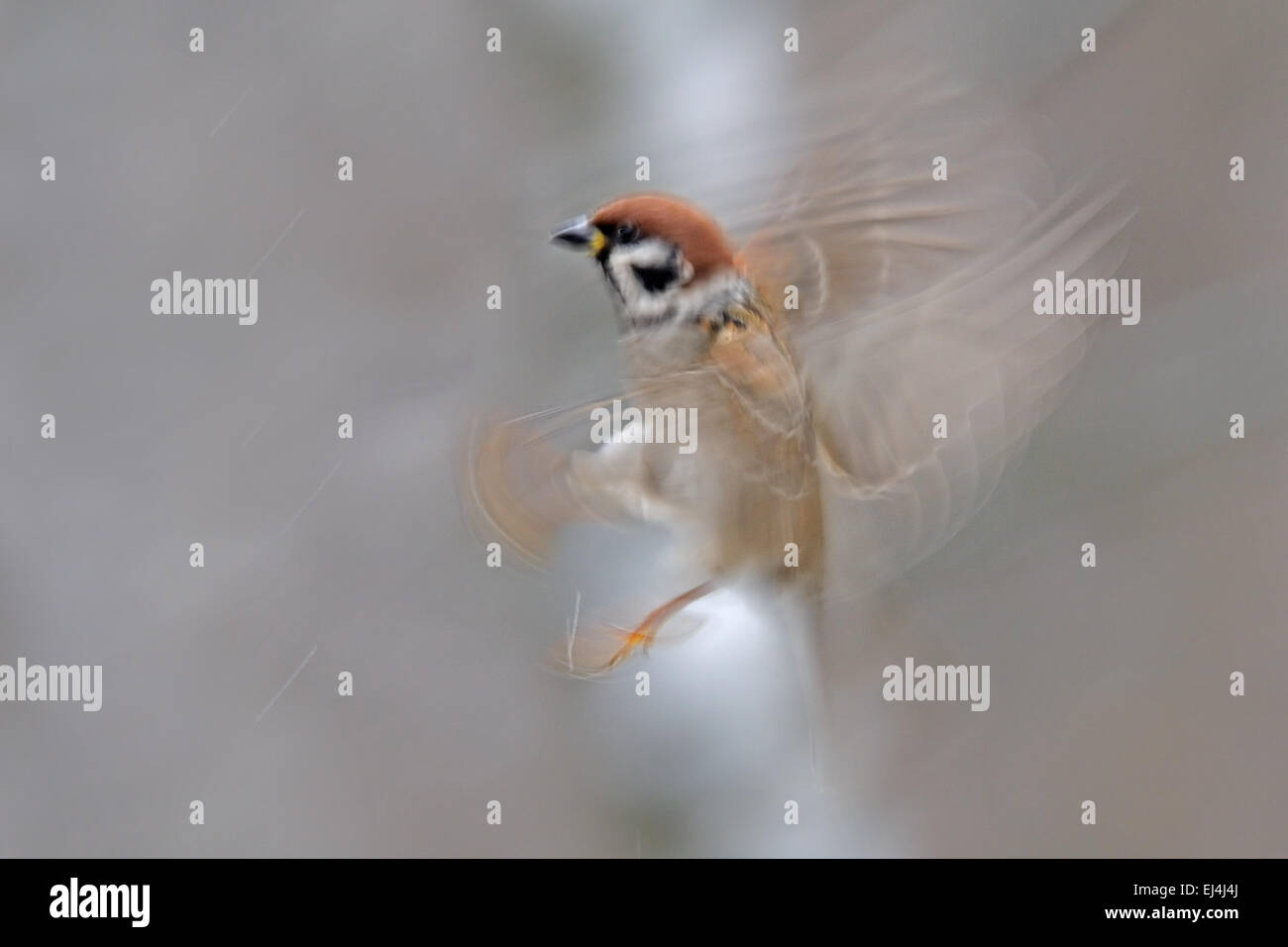 Flying blurred Tree Sparrow - Stock Image