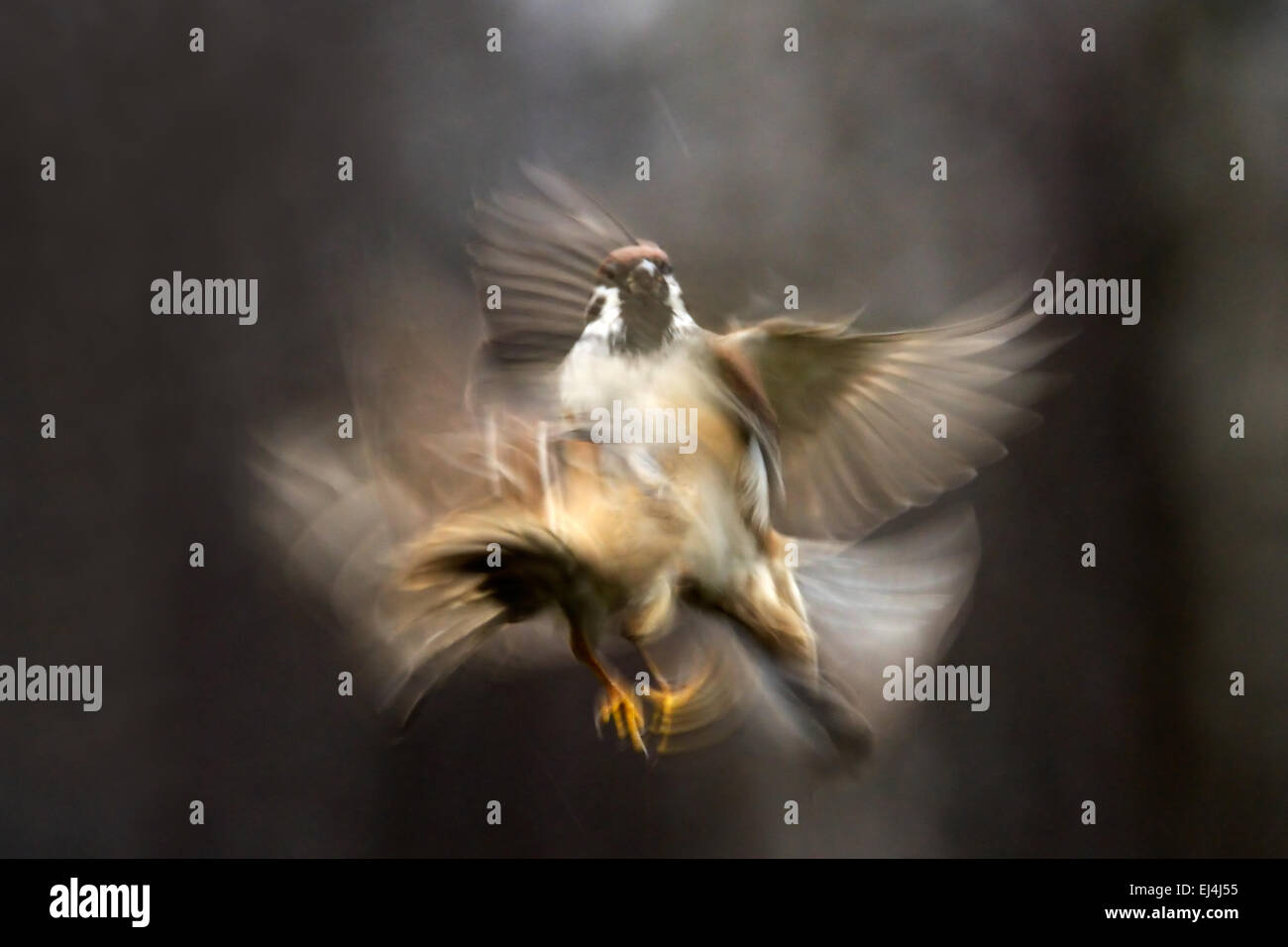 Flying blurred bird - Stock Image