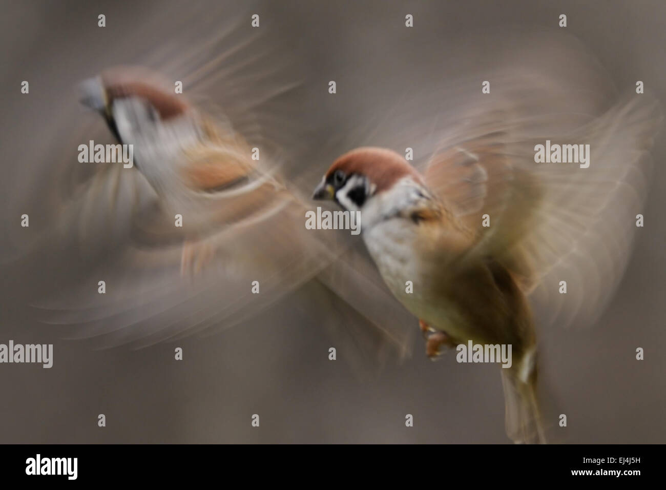Flying blurred Tree Sparrows - Stock Image