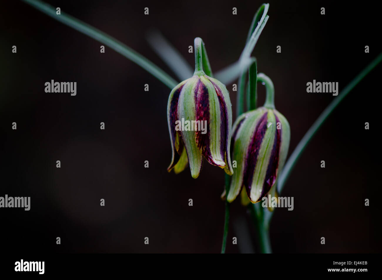 Fritillaria messanensis, Fritillaria gracilis, Andalusia, Spain. Stock Photo