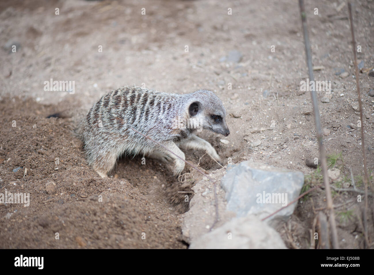 meerkat standing to attention - Stock Image