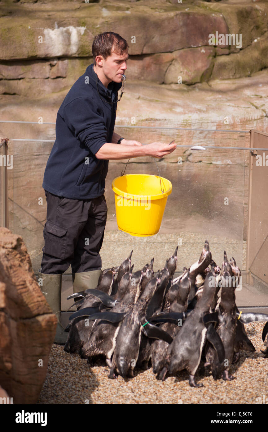 zoo keeper feeding penguins - Stock Image