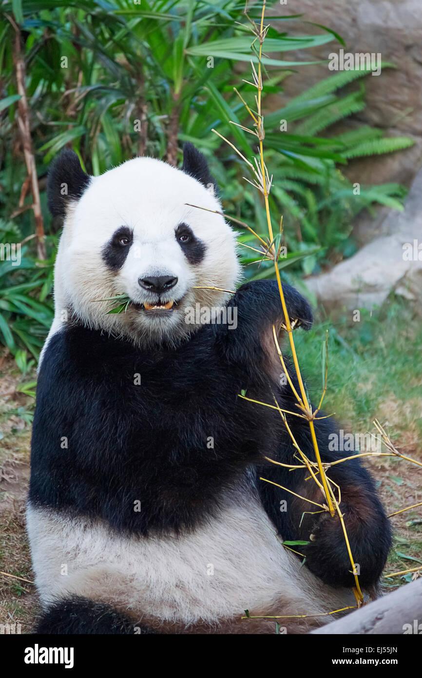 Big panda (Ailuropoda melanoleuca) eating bamboo - Stock Image