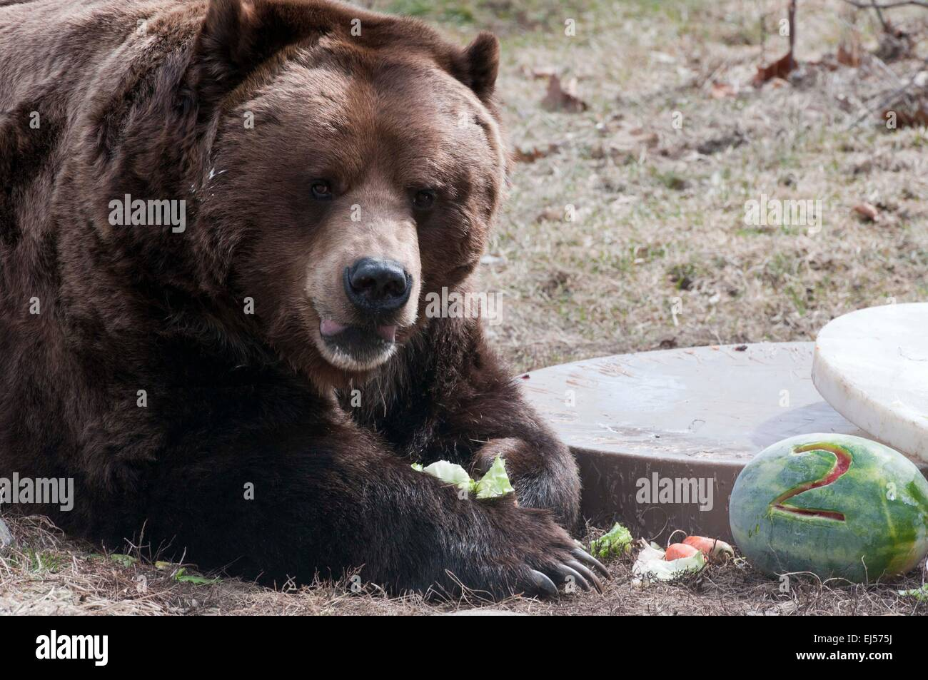 Chicago USA 21st Mar 2015 One Of A Pair Grizzly Bears Enjoys Himself With Food On His 20 Year Old Birthday Party At The Brookfield Zoo
