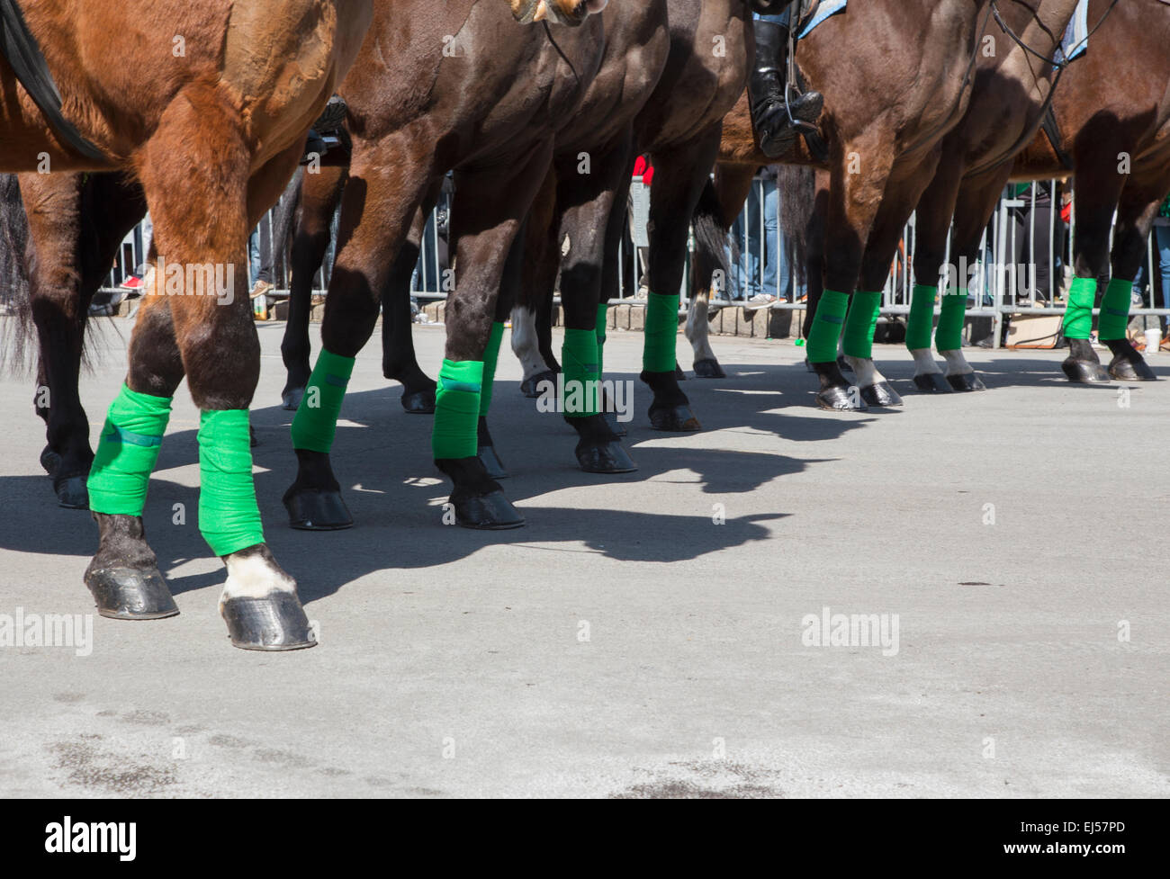 Police horses with green leggings, St. Patrick's Day Parade, 2014, South Boston, Massachusetts, USA - Stock Image