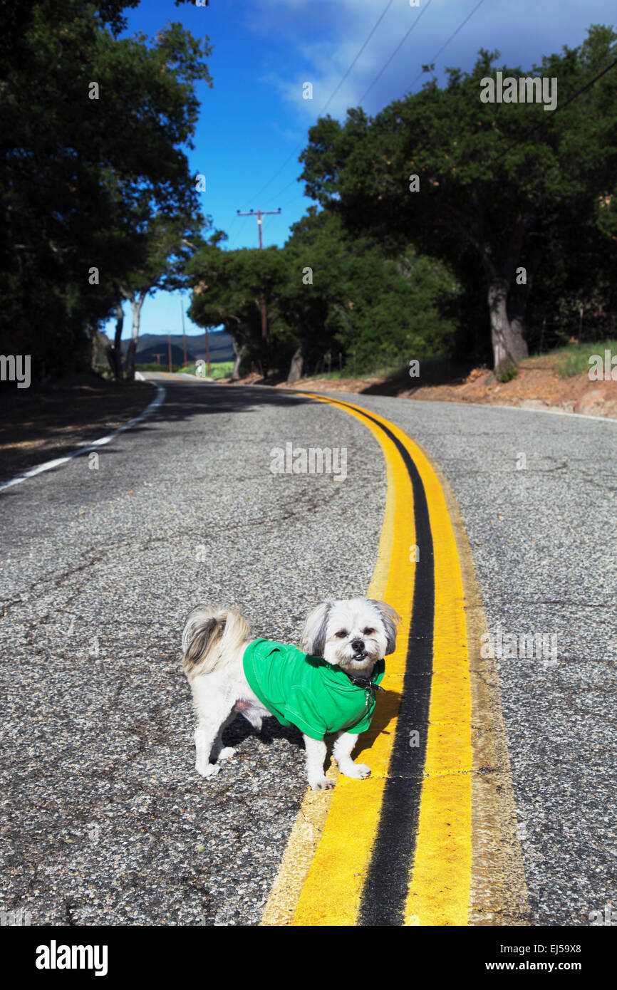 Shih Tzu Dog with green hoody on in middle of road on double yellow road, Ojai, California, USA - Stock Image