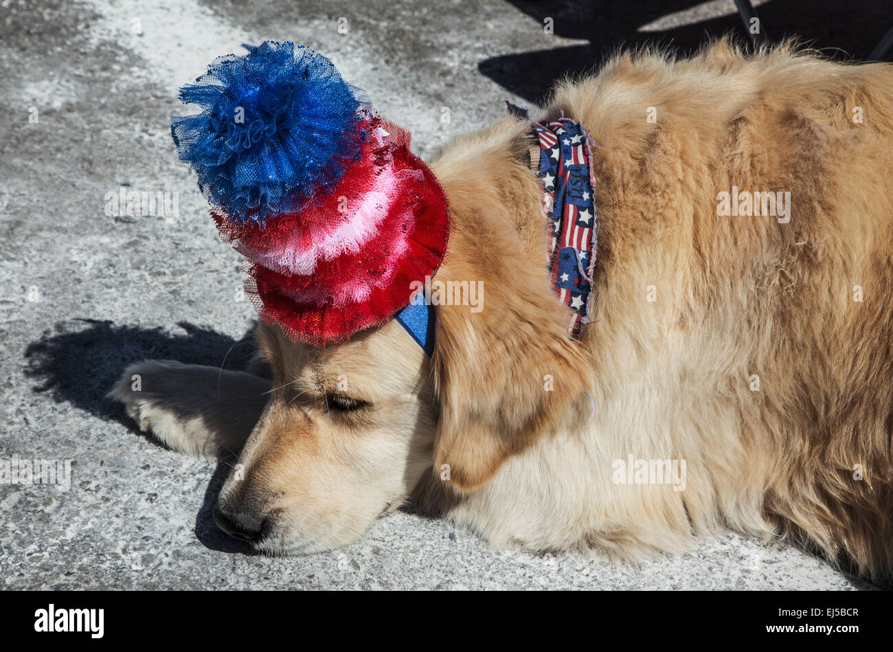Sleeping dog with Red White and Blue Hat, July 4, Independence Day Parade, Telluride, Colorado, USA - Stock Image