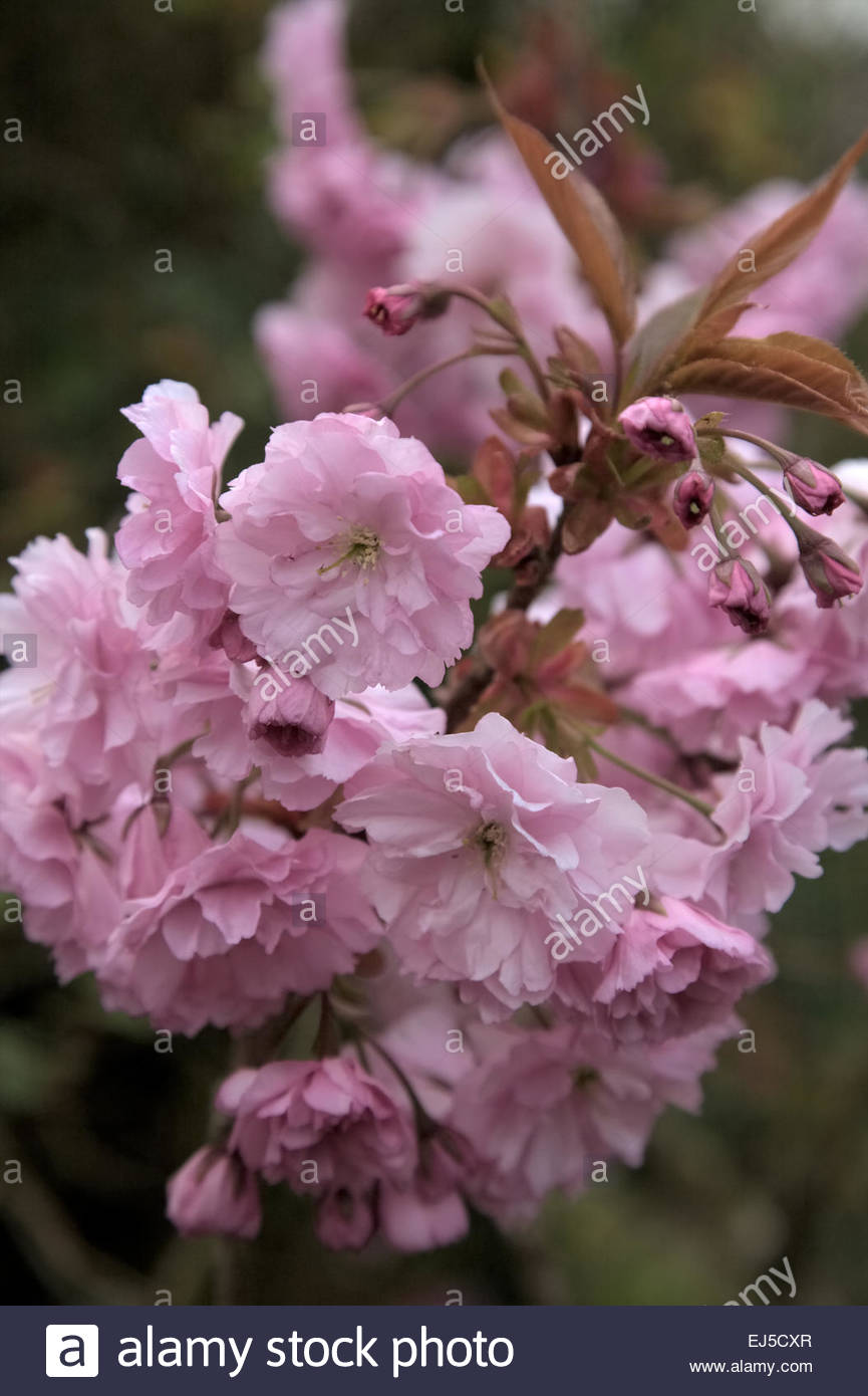 Prunus Kanzan Pink Flowering Cherry Stock Photos Prunus Kanzan