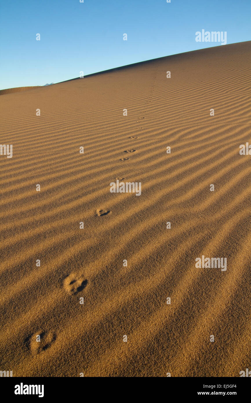 Death valley sand dune with small animal tracks - Stock Image