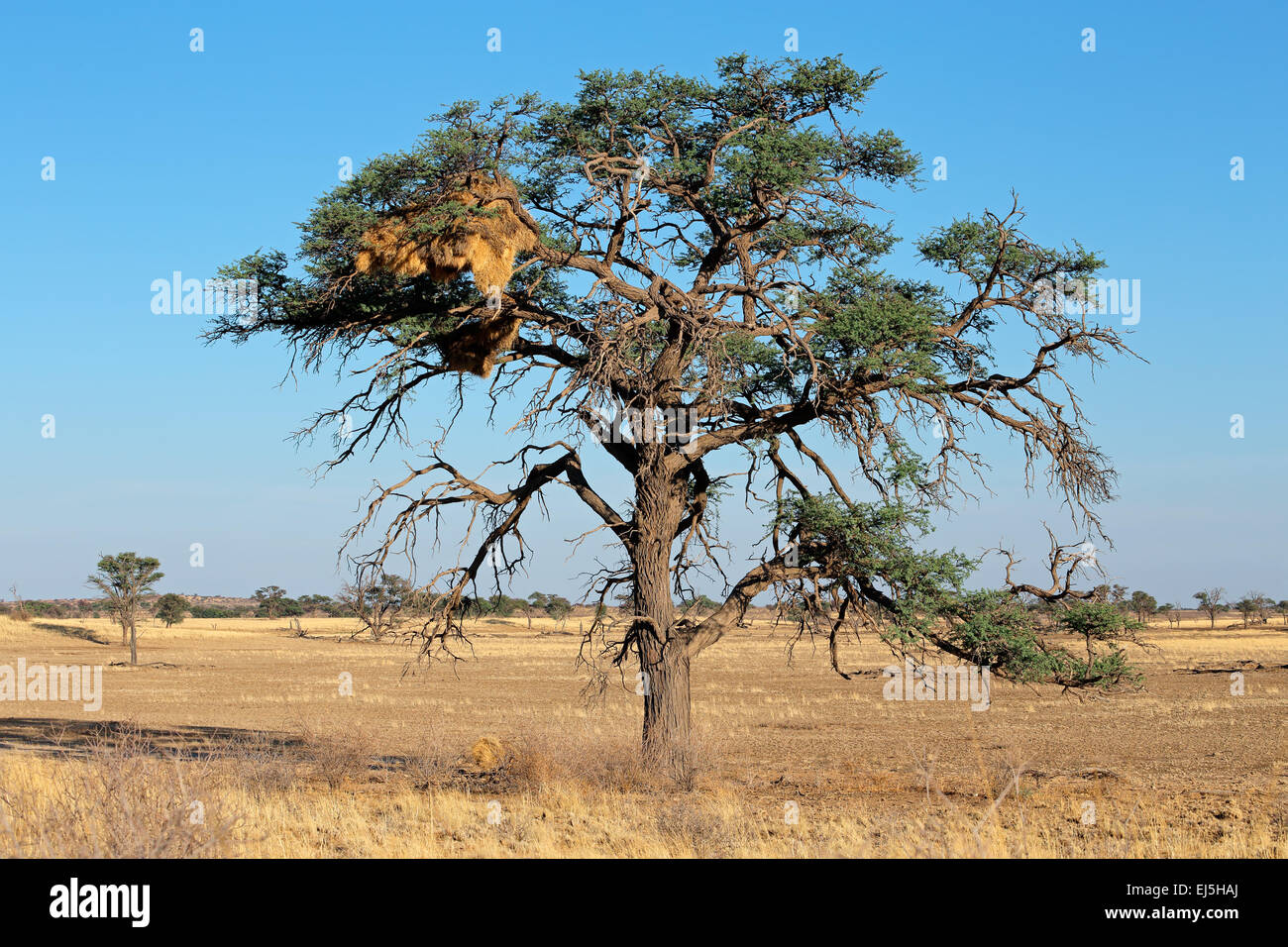 African Acacia tree with communal nest of sociable weavers (Philetairus socius), Kalahari, South Africa - Stock Image