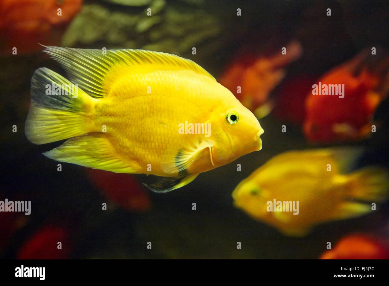Blood Parrot Cichlids. Vinpearl Land Aquarium, Phu Quoc, Vietnam. - Stock Image