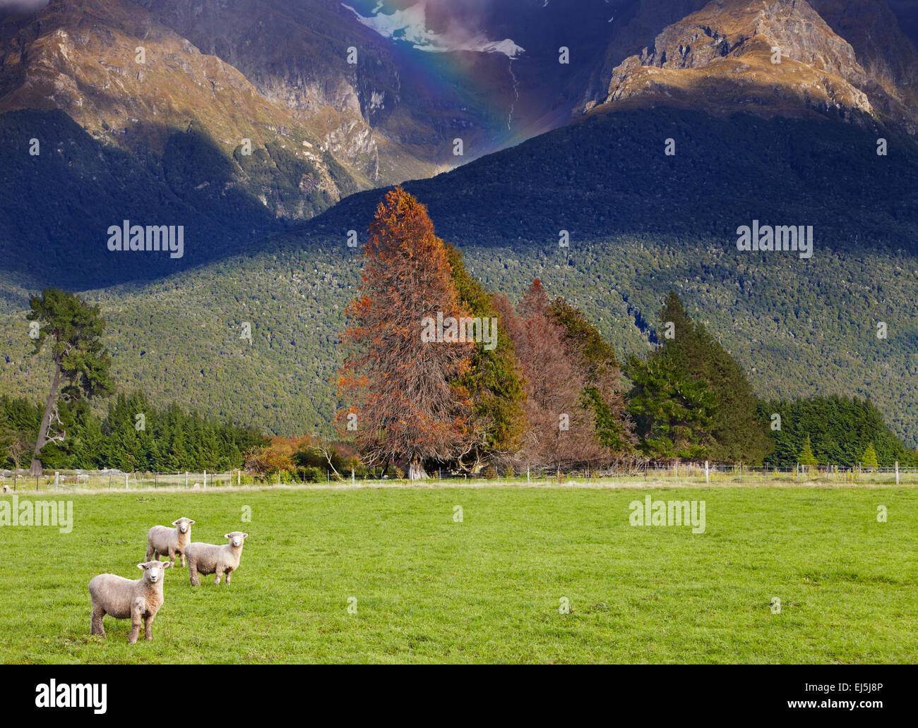 Mountain landscape with forest and grazing sheep, South Island, New Zealand - Stock Image