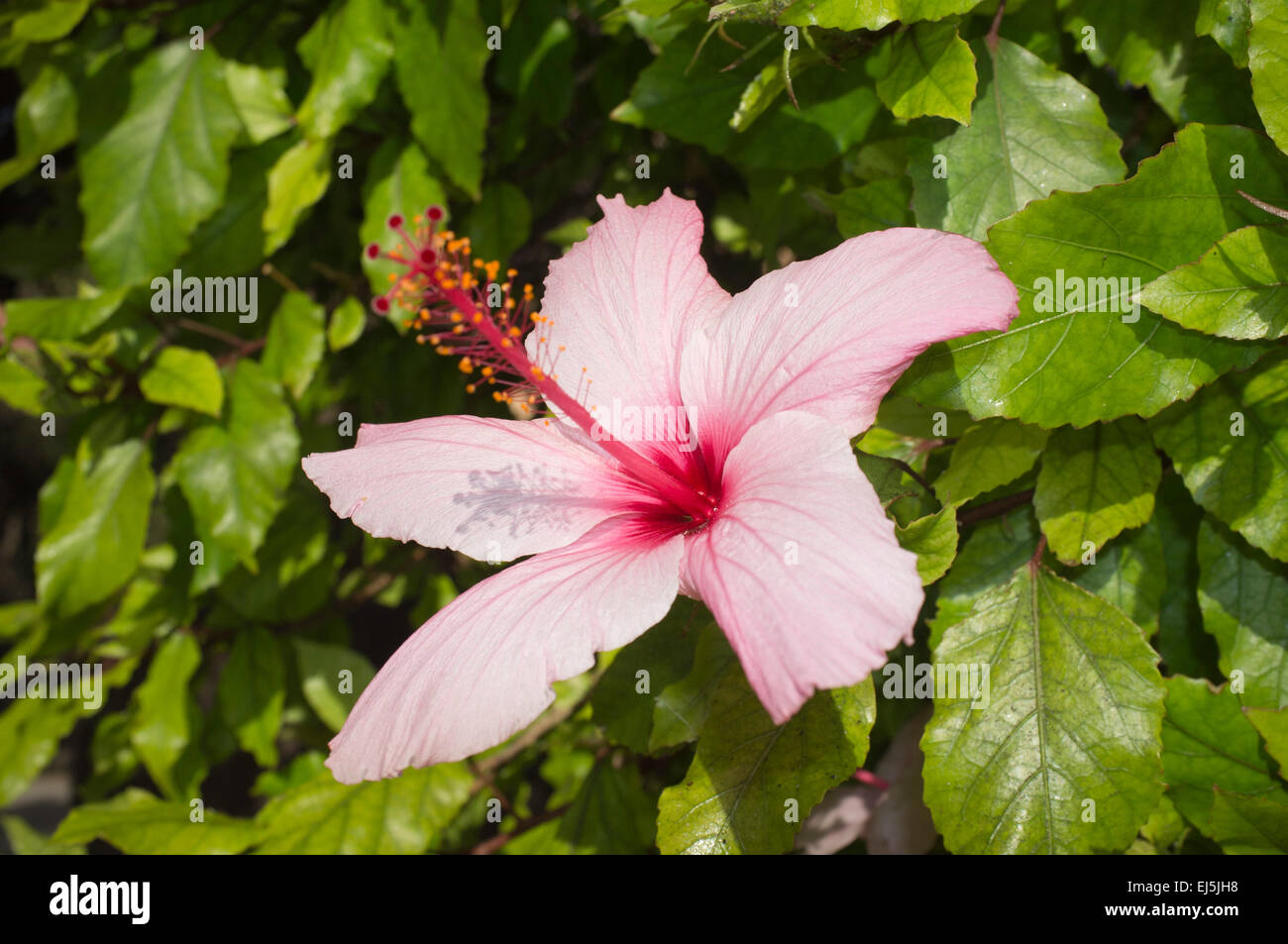 Adelaide Australia 22nd March 2015 Australian Hibiscus Flower