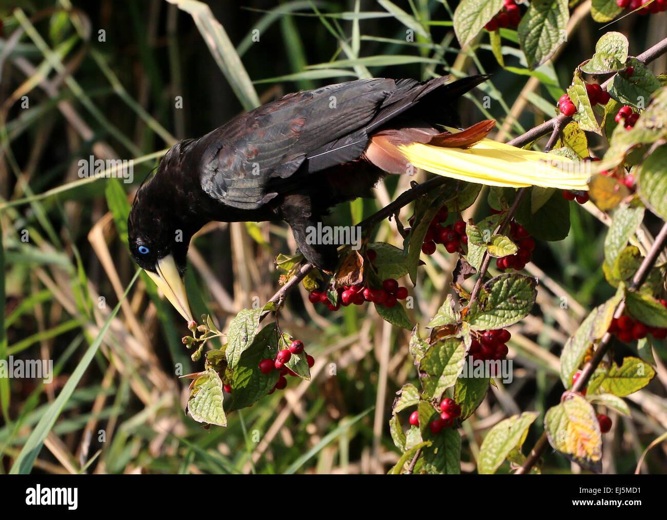 South American Crested Oropendola (Psarocolius decumanus) eating berries in a tree - Stock Image