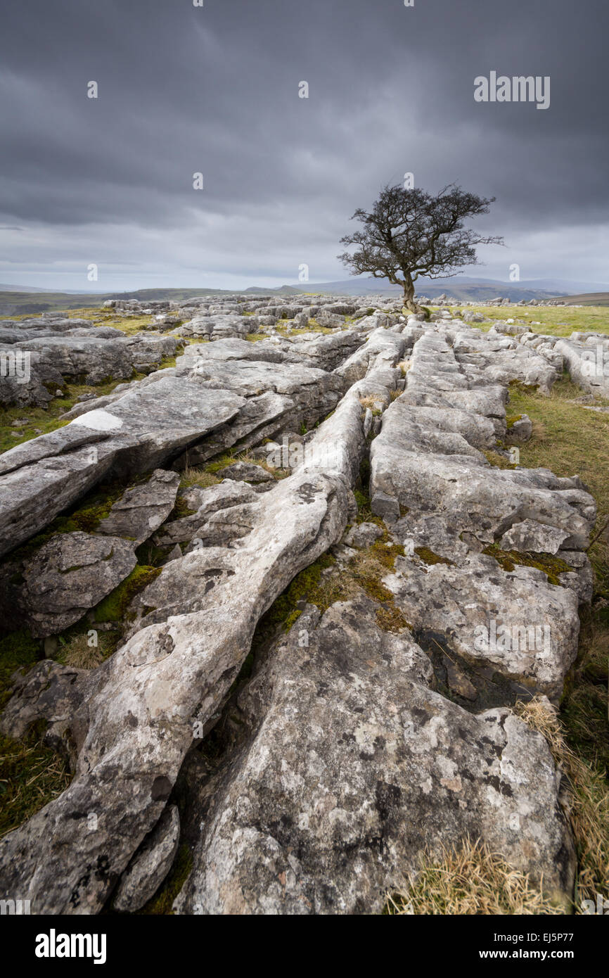 Lone, bare hawthorn tree above limestone pavement on the edge of the Yorkshire Dales on a stormy winter's day. - Stock Image
