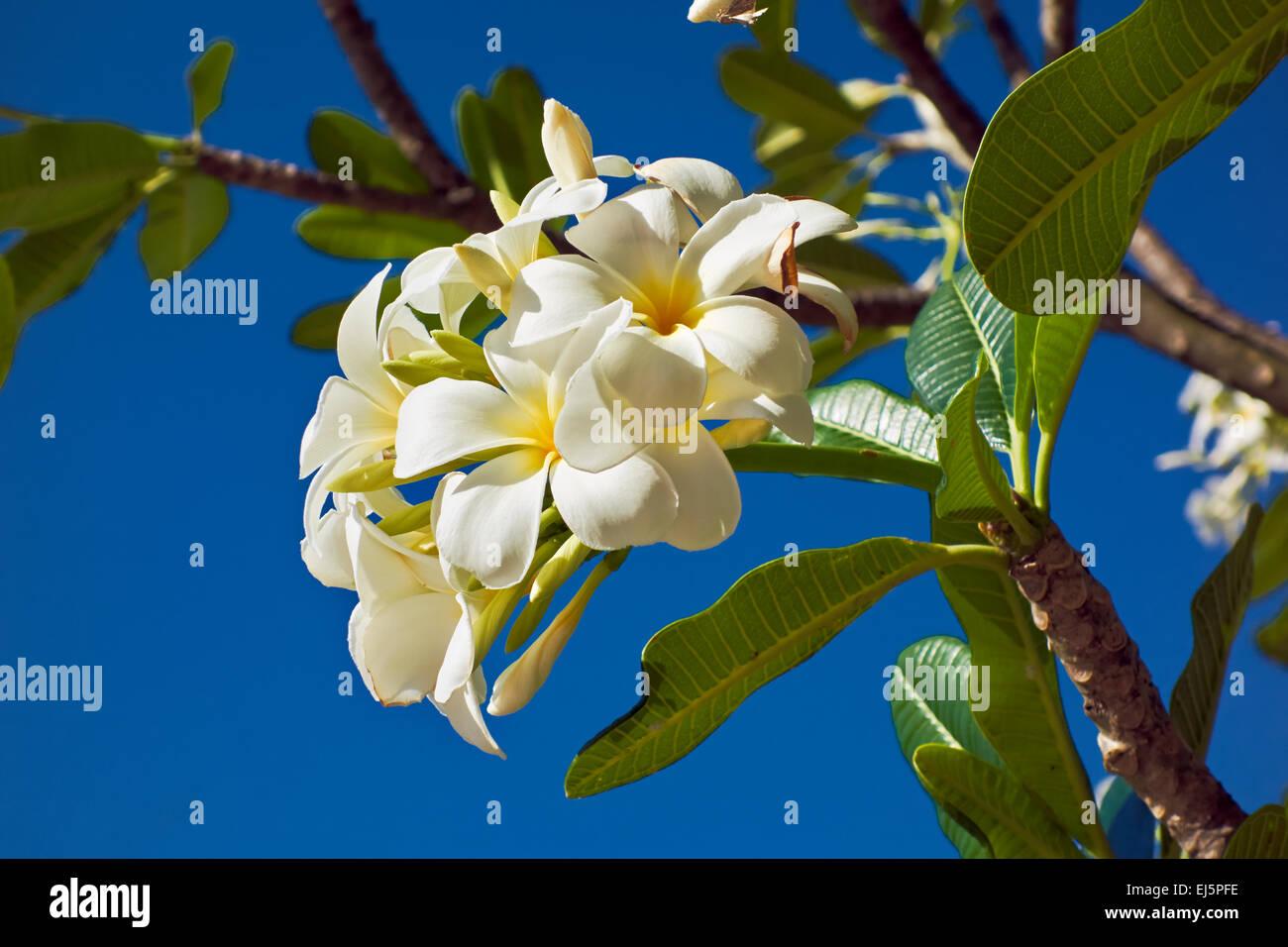 Plumeria Obtusa Stock Photos  U0026 Plumeria Obtusa Stock
