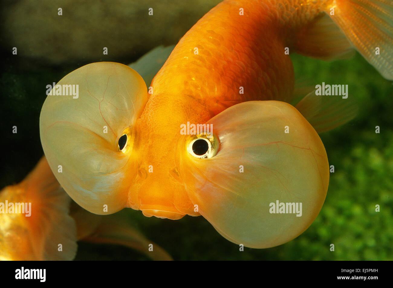 Bubble Eye Goldfish, Carassius auratus, Ciprinidae - Stock Image
