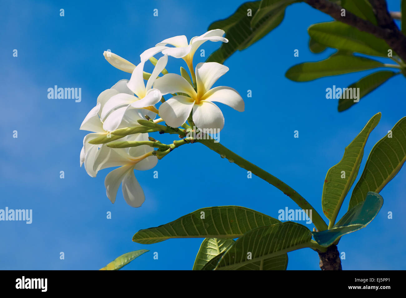 White Frangipani flowers upon blue sky. Scientific name: Plumeria obtusa. Phu Quoc island, Kien Giang Province, - Stock Image