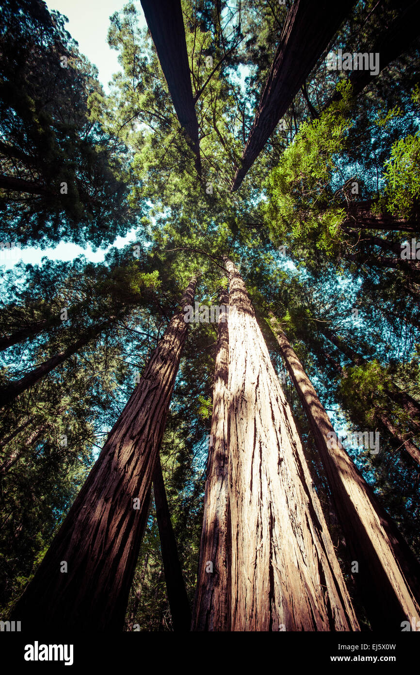 Redwood national park, pathway through the redwoods giants - Stock Image