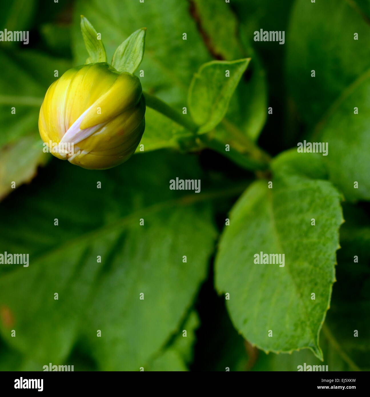 Dahlia leaves stock photos dahlia leaves stock images alamy the bud of yellow dahlia flower about to bloom stock image izmirmasajfo
