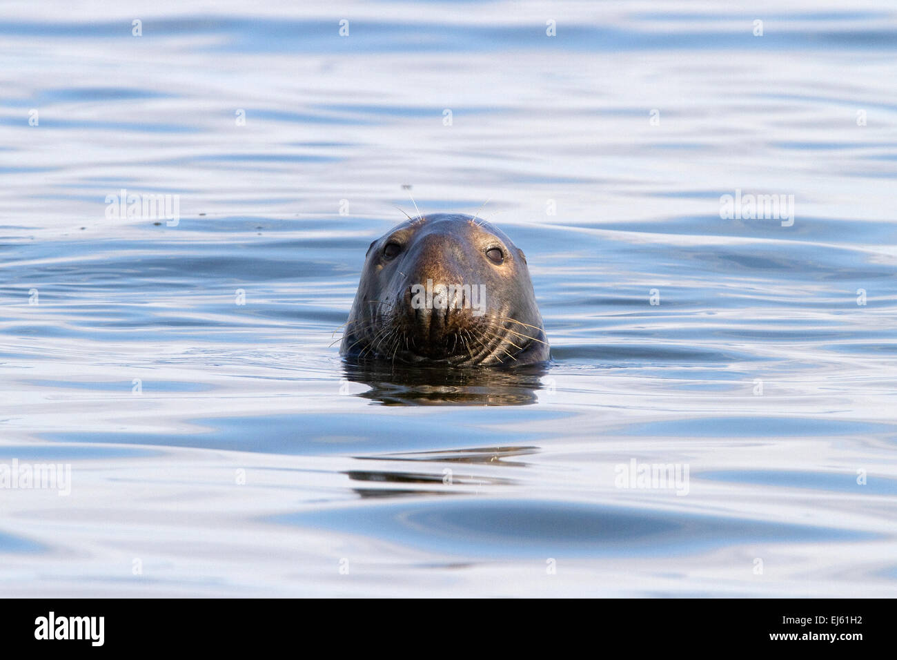 Grey seal face at Cape Cod National Seashore. - Stock Image