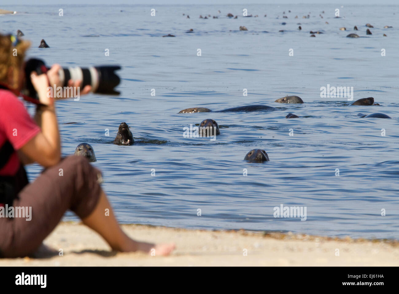 Cape Cod National Seashore with Grey seals and tourist at beach. Cape Cod Massachusetts. - Stock Image