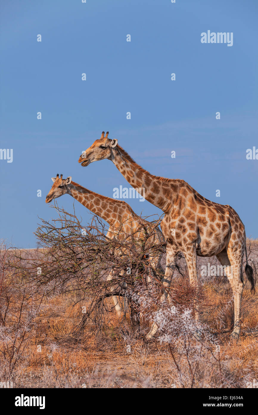 Two giraffes in Etosha National Park, Namibia. - Stock Image