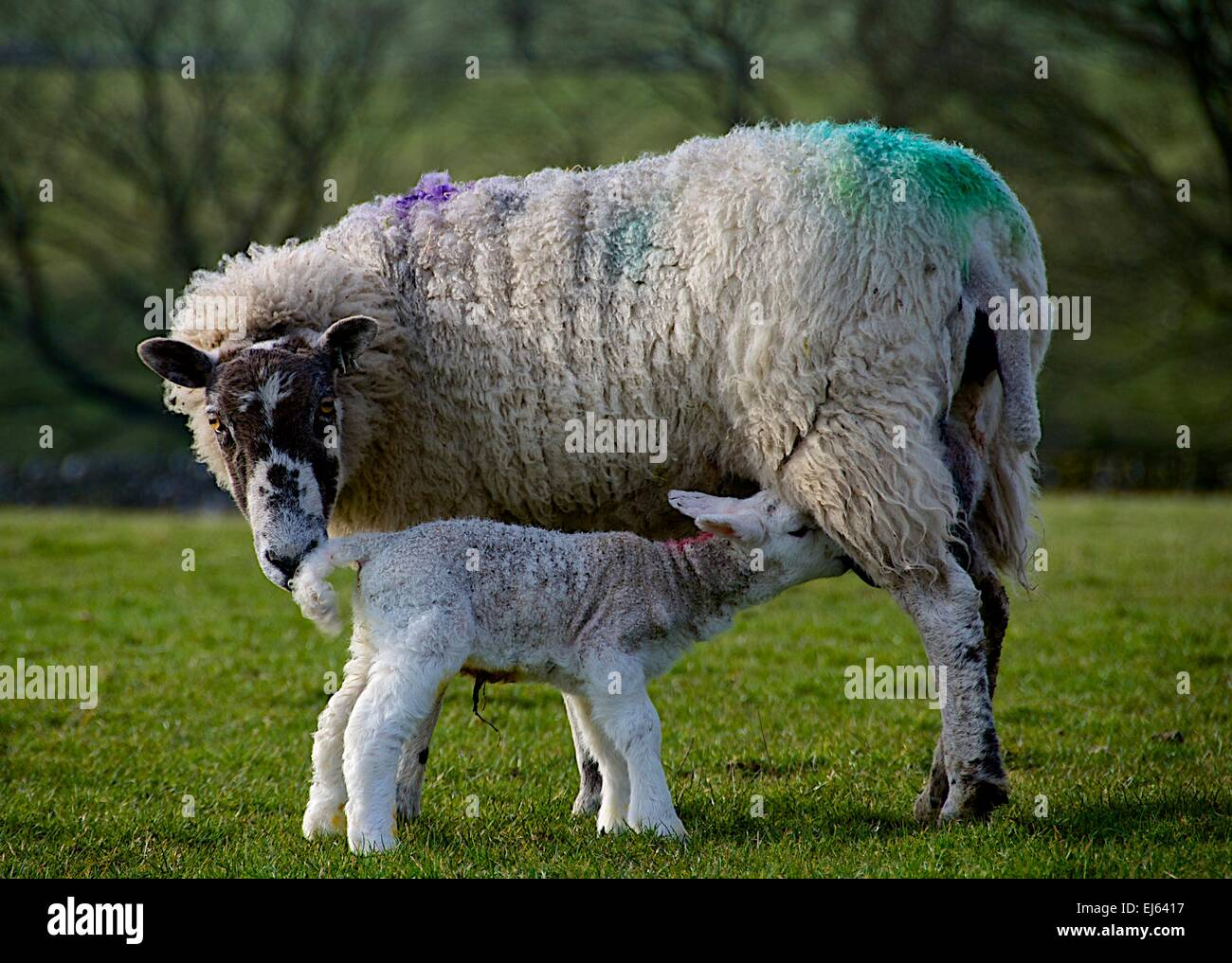 A ewe feeds her newborn lamb after giving birth in spring in North Yorkshire, Yorkshire Dales. Stock Photo