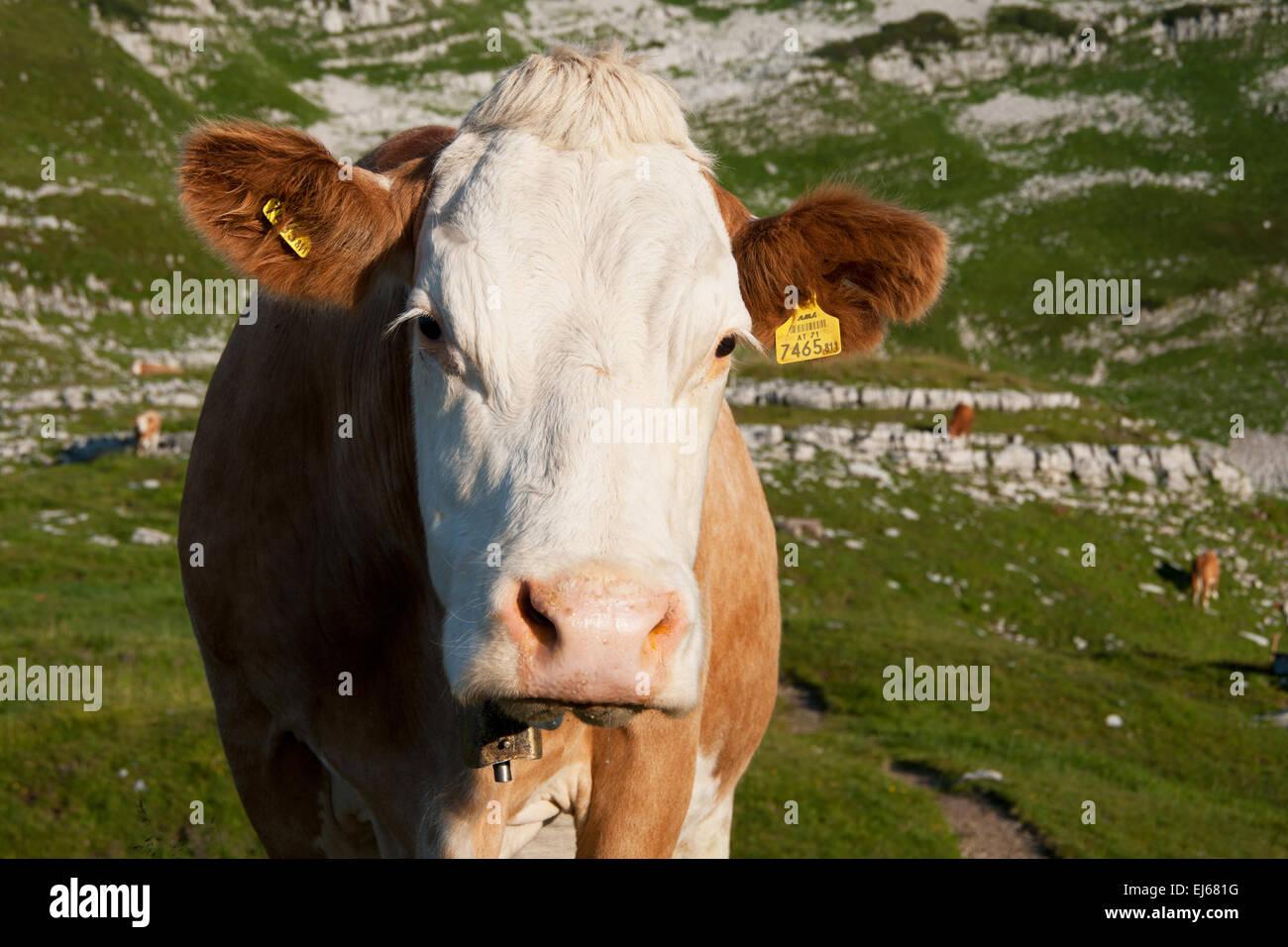Kuh am Loser, Altaussee, Salzkammergut, Styria, Austria - Stock Image