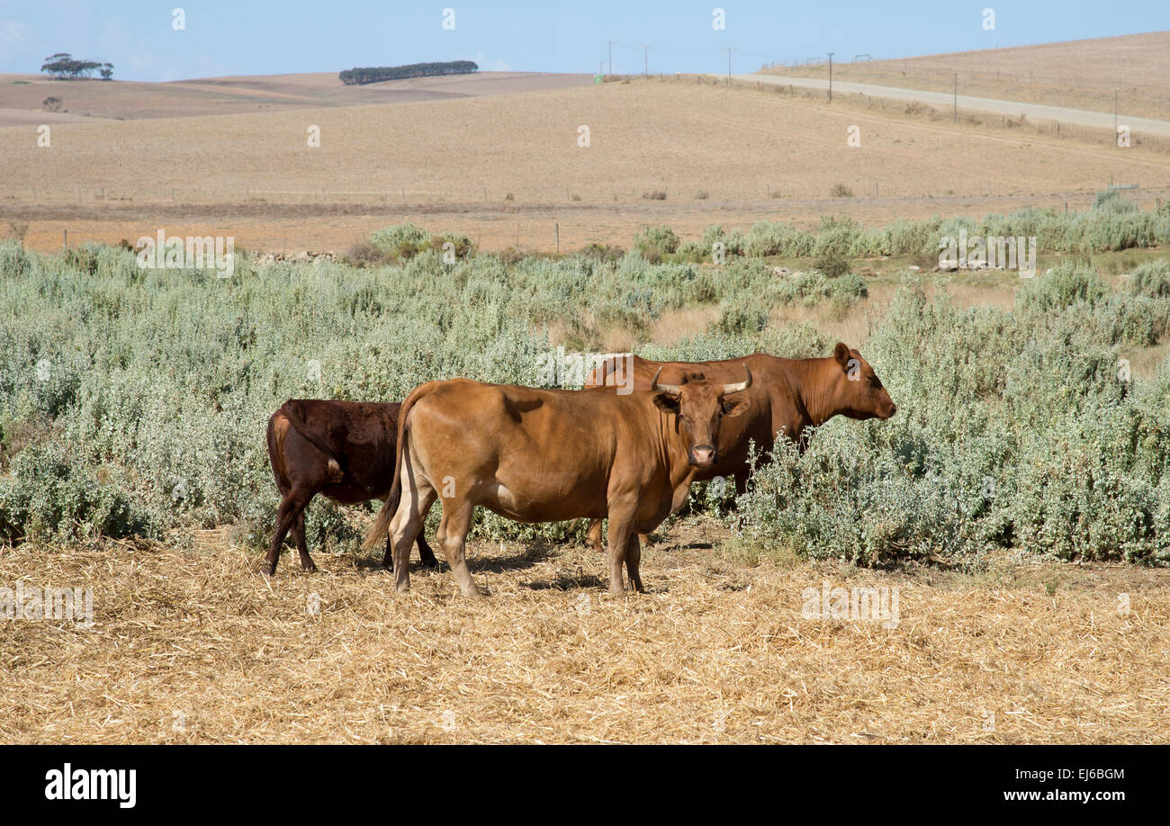 Cattle grazing on Bluegreen Saltbush in the Overberg region South Africa - Stock Image