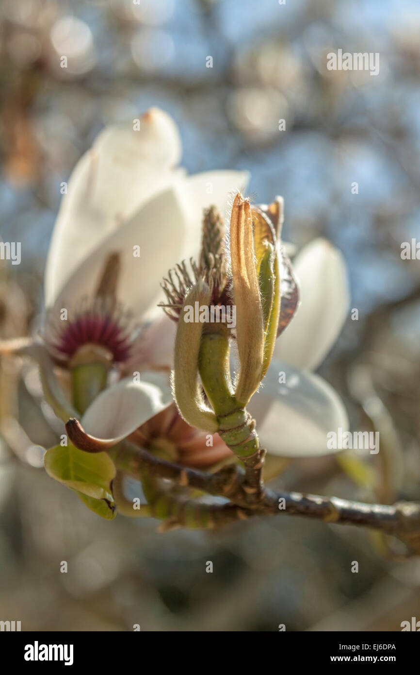 Close-up of a Magnolia, a flowering plant species in the subfamily Magnolioideae of the family Magnoliaceae. Stock Photo