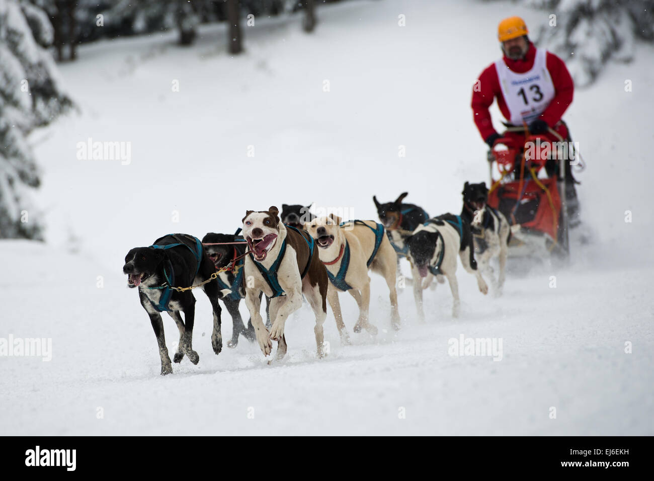 Dogs and musher during sleddog speed racing. - Stock Image