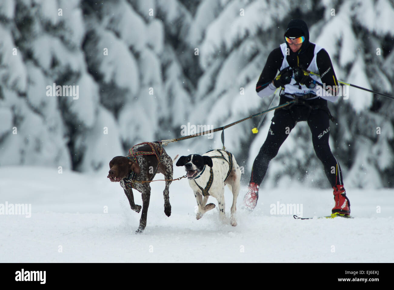 Two dogs and unidentified musher during sleddog speed racing. - Stock Image