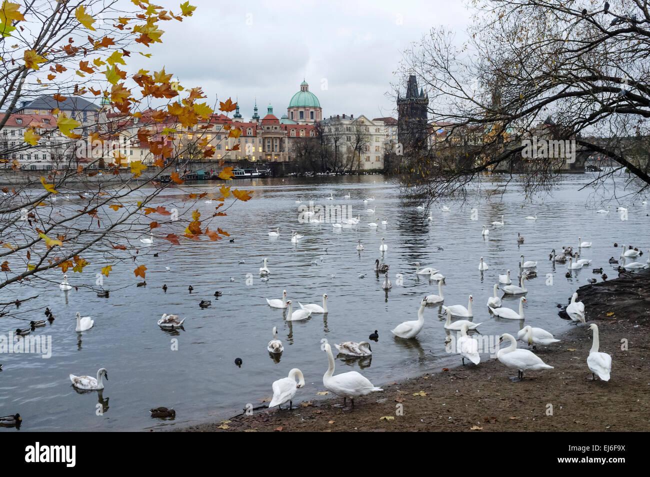Swans at the Vltava river. Prague, Czech Republic - Stock Image