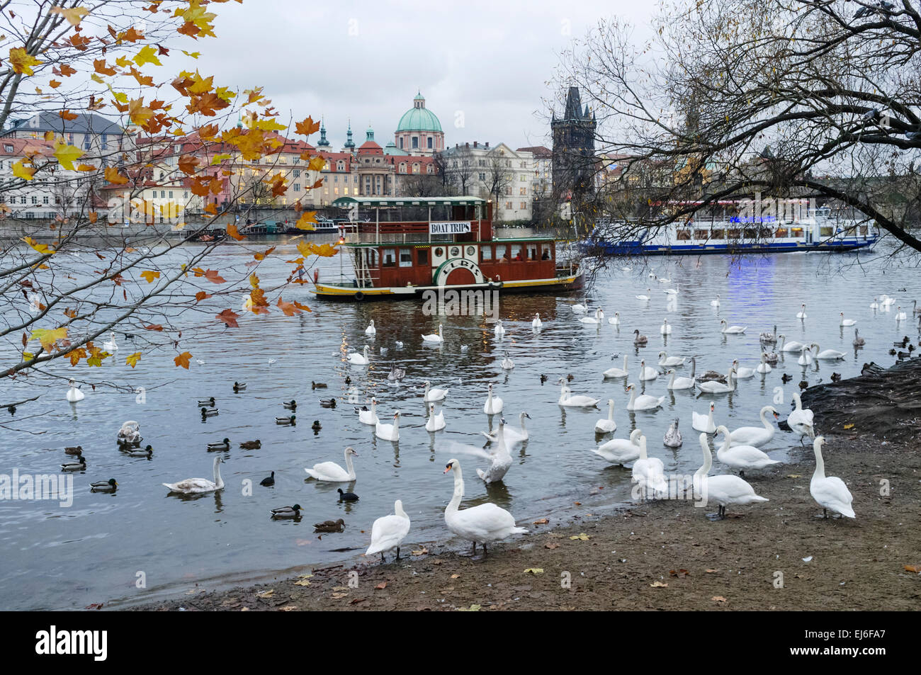 Swans and old tourist boat at the Vltava river. Prague, Czech Republic - Stock Image