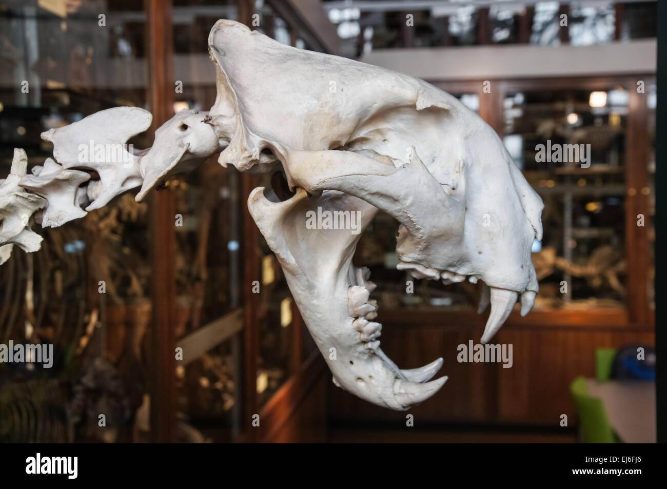 The Grant Museum of Zoology, tiger skull, London England United Kingdom UK - Stock Image