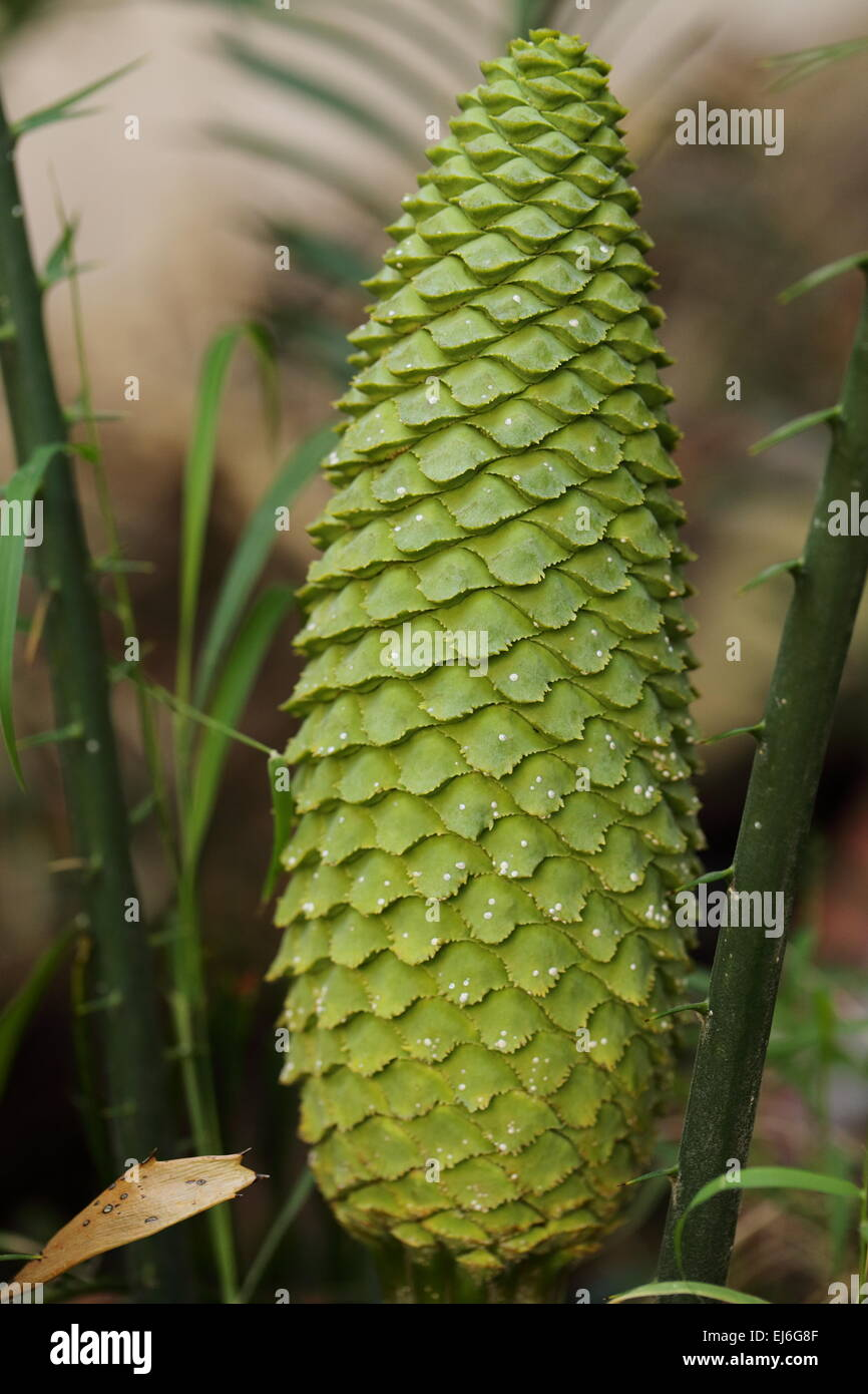 Cone of encephalartos villosus infected with scale insect - Stock Image