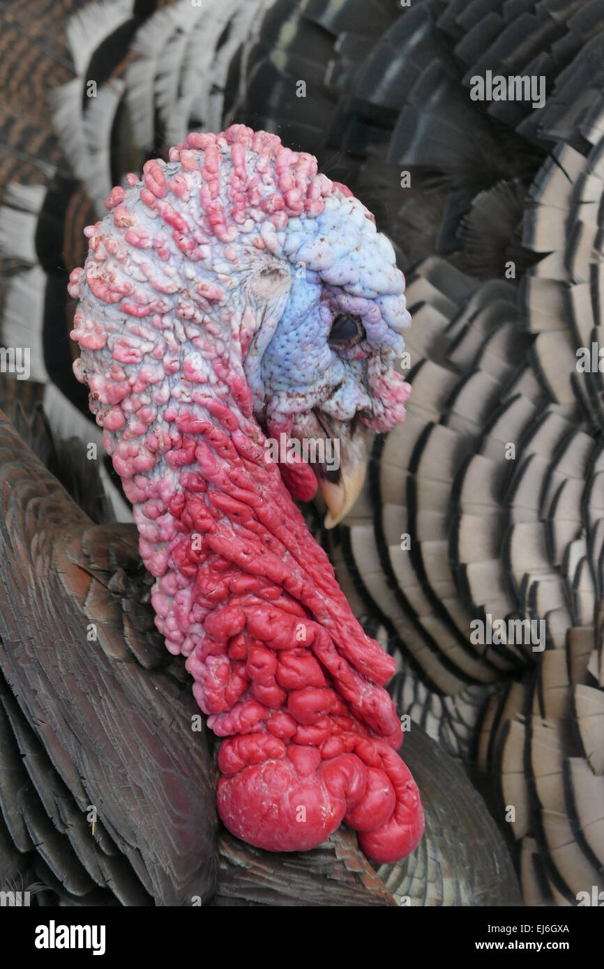 Close up of turkey on farm - Stock Image