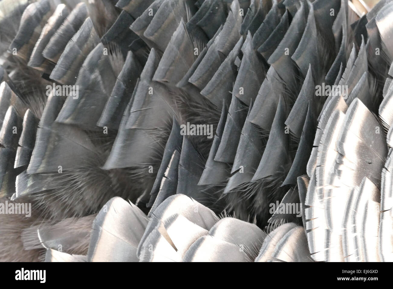 Close up of black and white feathers on turkey - Stock Image