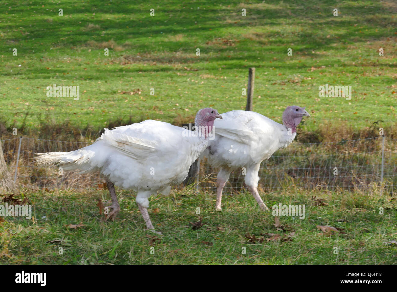 Two turkeys on the move on farm - Stock Image