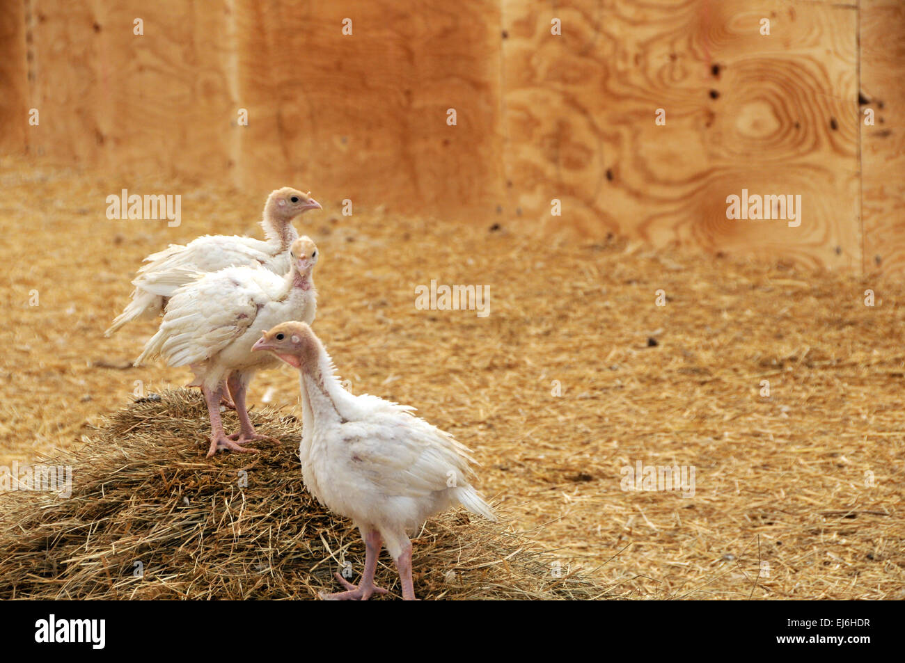 Young turkeys on straw in farm - Stock Image
