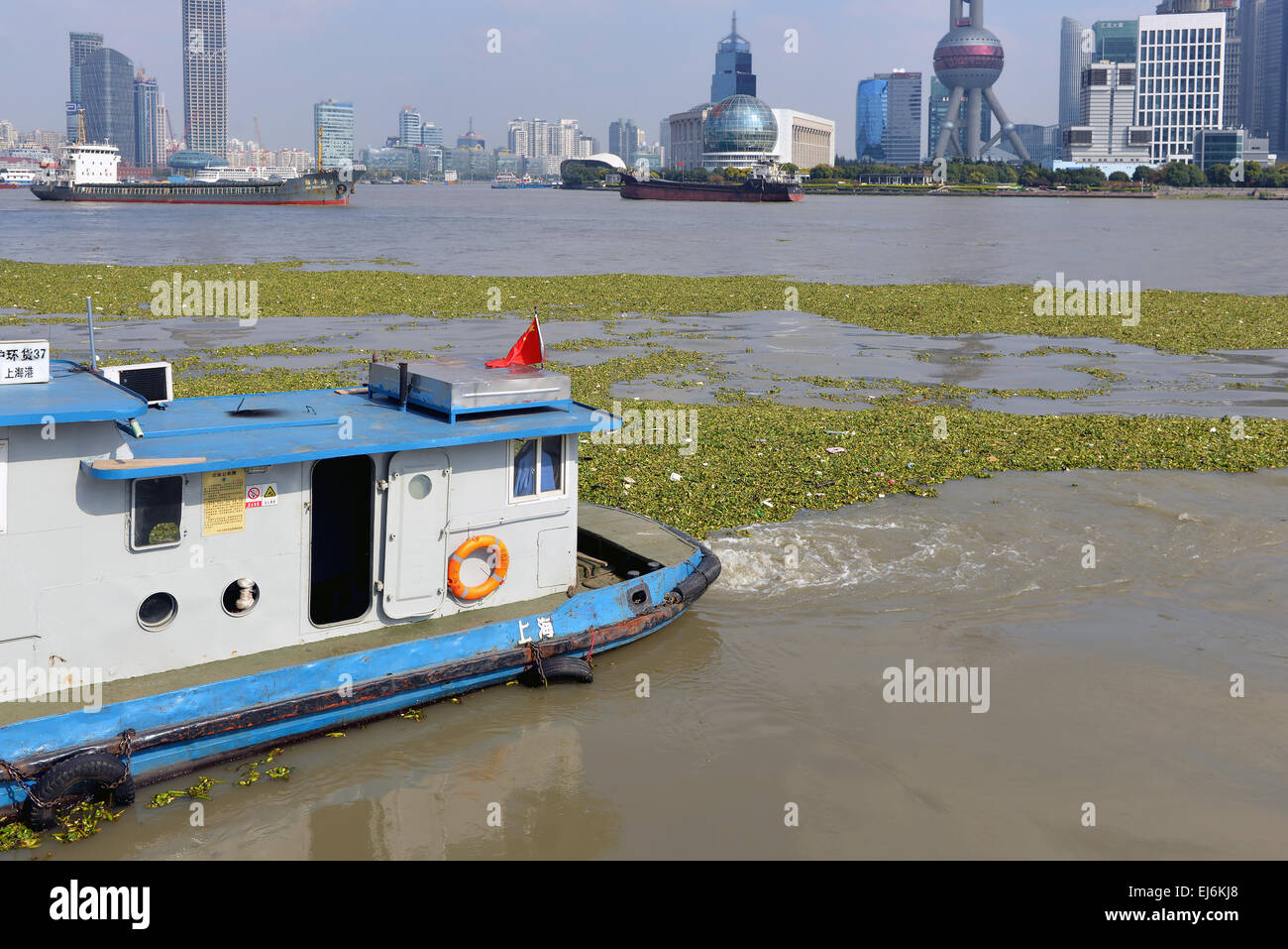Boat in Huangpu River in Bund area of Shanghai tries to corral the proliferation of Water Hyacinth, an invasive - Stock Image