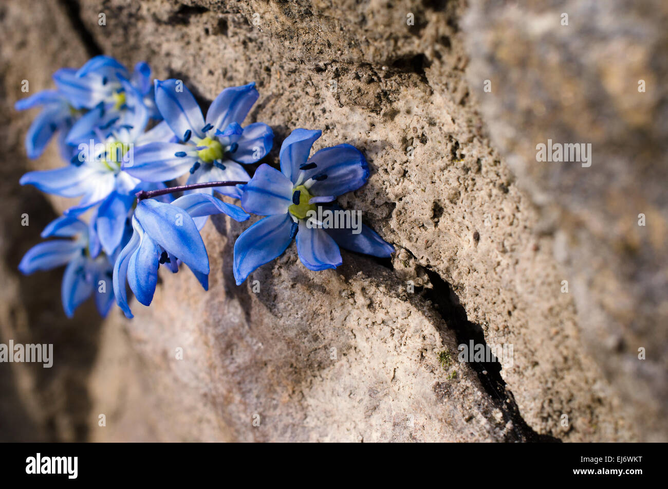 first bluebell flowers are in the crevice of a large stone. Selective focus - Stock Image