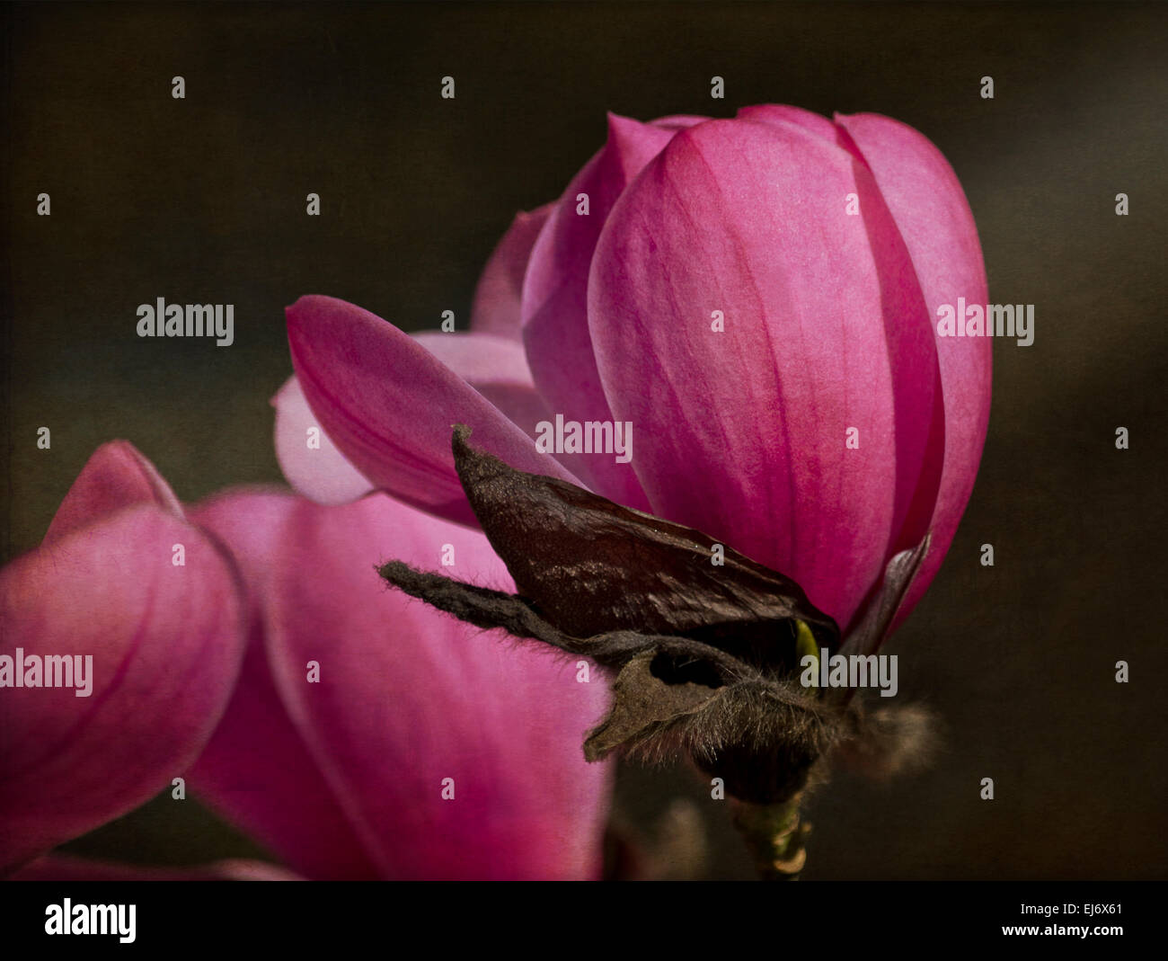 "Beautiful pink magnolia blossoms in the Spring in Vancouver, Canada. Saucer Magnolia, Magnolia x soulangeana ""Alexandrina"". Stock Photo"