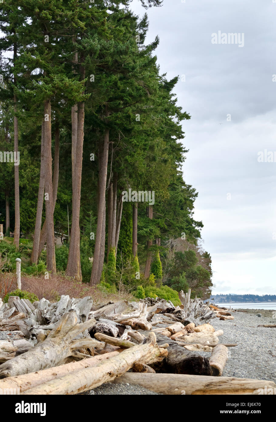 Rugged coastline and beach with driftwood and tall fir trees near Sechelt on the Sunshine Coast in British Columbia, - Stock Image