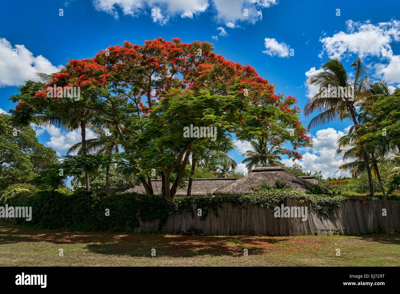 Royal Poinciana (Delonix regia) in front of hut, Mauritius - Stock Image